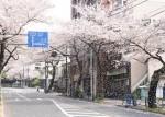 新青梅「蓮花寺下」桜吹雪