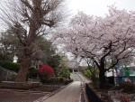 東福寺のサクラ