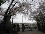 江古田小学校のサクラ